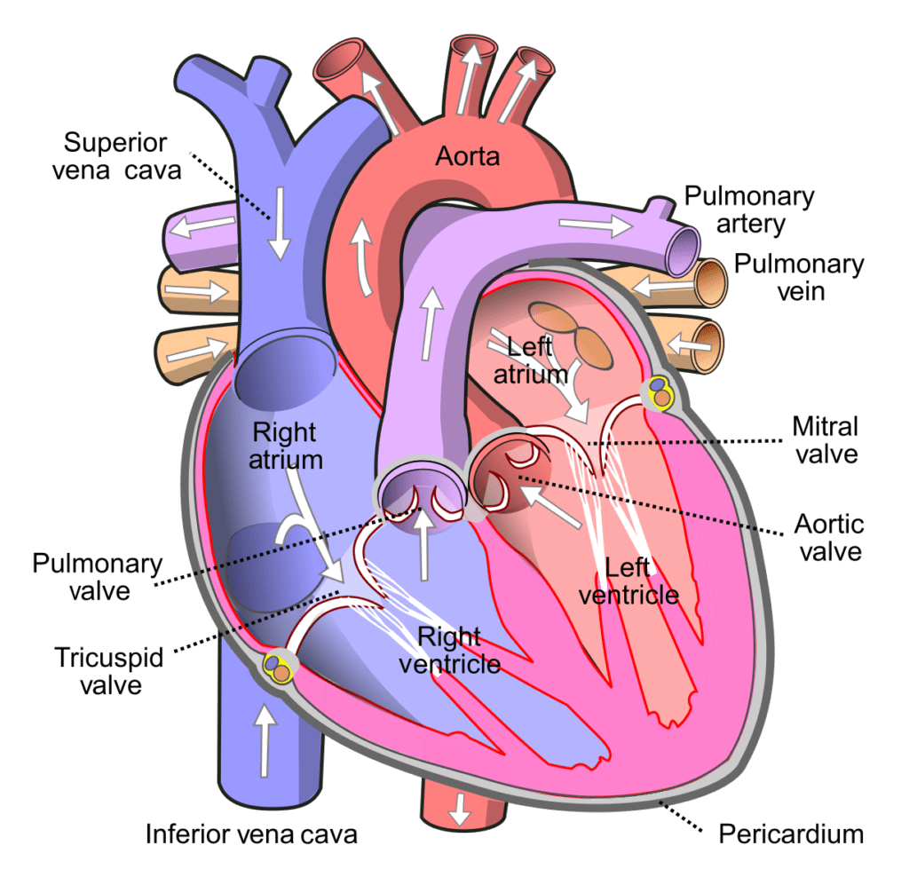Diagram Human Heart: Every Mother